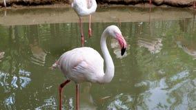 Het hoofd en schone lichaam van de flamingokeet stock footage