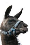 Het hoofd geïsoleerdee profiel van de lama Stock Foto's
