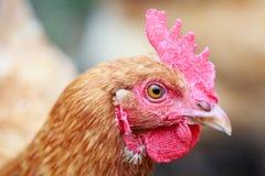 Het hoofd schoot zijprofiel van mijn kip Goldie stock foto's