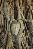 Het hoofd van Boedha in boom Royalty-vrije Stock Foto