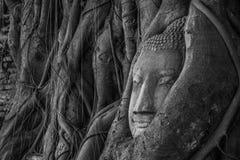 Het hoofd van Boedha in boom Stock Foto's