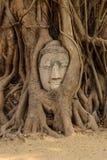 Het hoofd van Boedha s in boomwortel Royalty-vrije Stock Foto