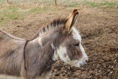 Het hoofd van het close-upprofiel van een vrij weinig bruine ezel wordt geschoten die Stock Foto's