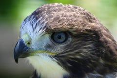 Het hoofd van de adelaar Stock Foto's