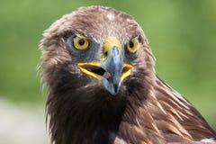 Het hoofd van de adelaar royalty-vrije stock foto