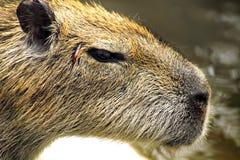 Het hoofd van de close-up van een bever Stock Fotografie