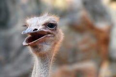 Het hoofd van de close-upstruisvogel Royalty-vrije Stock Fotografie
