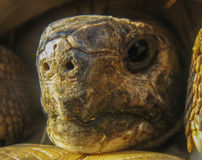 Het hoofd van de de schildpadschildpad van Hermann Royalty-vrije Stock Foto's