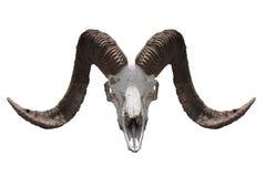Het hoofd van de dode geit Royalty-vrije Stock Afbeelding
