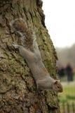 Het hoofd van de eekhoorn neer op boomboomstam in Londen Royalty-vrije Stock Foto's