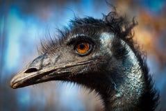 Het hoofd van de emoe Royalty-vrije Stock Foto's