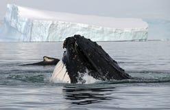 Het hoofd van de gebocheldewalvis stock foto's