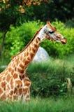 Het hoofd van de giraf Stock Foto's