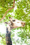 Het hoofd van de giraf Royalty-vrije Stock Foto