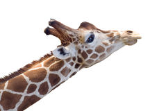 Het hoofd van de giraf dat op wit wordt geïsoleerde Stock Fotografie
