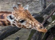 Het hoofd van de giraf `s Royalty-vrije Stock Foto