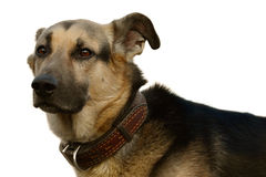 het hoofd van de hond Royalty-vrije Stock Afbeelding