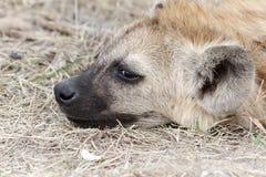 Het hoofd van de hyena Royalty-vrije Stock Foto's