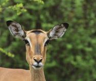 Het Hoofd van de impala Royalty-vrije Stock Foto's