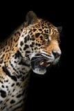 Het hoofd van de jaguar in geïsoleerdeo duisternis, Stock Afbeelding