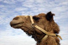 Het hoofd van de kameel Stock Foto's