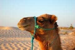 Het hoofd van de kameel Stock Foto
