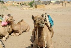Het hoofd van de kameel Stock Afbeelding