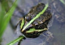 het hoofd van de kikker in het water Stock Afbeelding