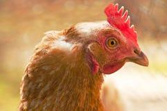 Het hoofd van de kip Stock Afbeelding