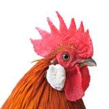Het hoofd van de kip Stock Foto