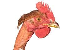 Het hoofd van de kip Royalty-vrije Stock Afbeeldingen