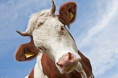 Het hoofd van de koe Stock Foto's