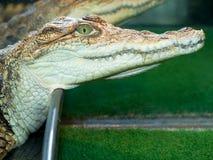Het hoofd van de krokodil `s Stock Foto