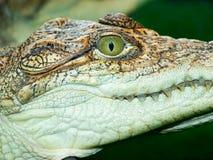 Het hoofd van de krokodil `s Royalty-vrije Stock Afbeeldingen
