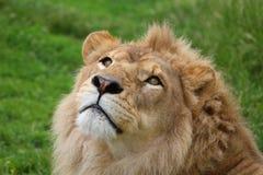 Het hoofd van de leeuw Royalty-vrije Stock Foto's