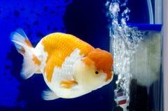 Het Hoofd van de Leeuw van Ranchu in de tank van Vissen Stock Afbeelding