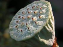 het hoofd van de lotusbloembloem Royalty-vrije Stock Foto's