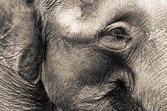 Het Hoofd van de olifant Royalty-vrije Stock Foto's