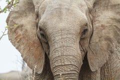 Het hoofd van de olifant Stock Foto's