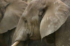 Het hoofd van de olifant Royalty-vrije Stock Afbeelding