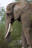Het hoofd van de olifant royalty-vrije stock afbeeldingen