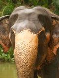 Het hoofd van de olifant, Sri Lanka Stock Foto's