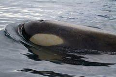 Het hoofd van de orka naast het overgaan Stock Afbeelding