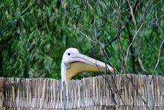 Het hoofd van de pelikaan Stock Foto's