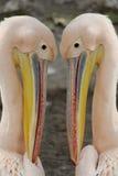 Het hoofd van de pelikaan Royalty-vrije Stock Foto