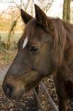 Het hoofd van de poney Stock Afbeeldingen