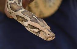 Het hoofd van de python Royalty-vrije Stock Foto's