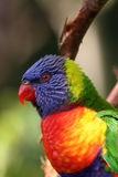 Het hoofd van de regenboog lorikeet Stock Afbeeldingen