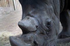 Het Hoofd van de rinoceros Stock Foto's