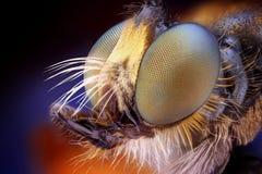 Het hoofd van de roversvlieg met microscoopdoelstelling die wordt genomen Stock Foto's